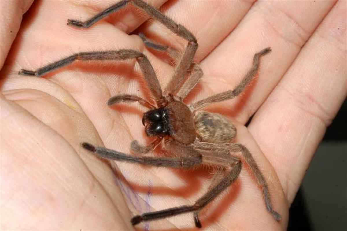 Poisonous and Venomous Spiders, Snakes and Insects in Florida