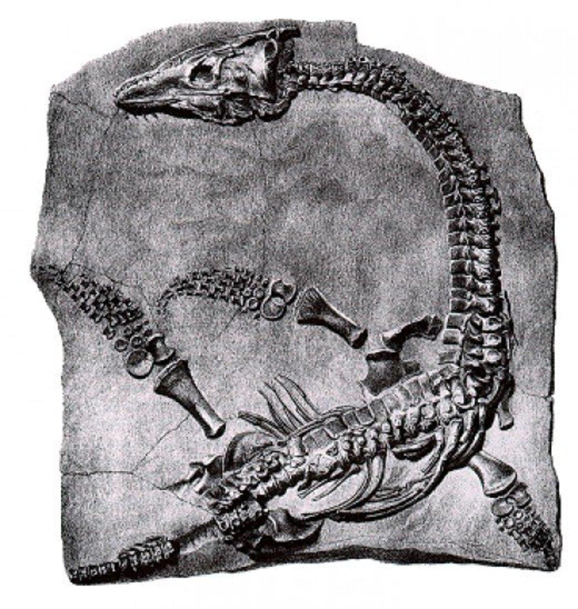Embedded Plesiosaurus Fossil
