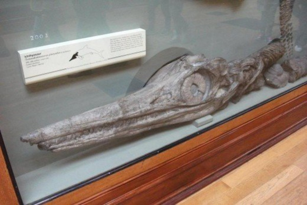 Ichthyosaur fossil head at the Museum of Natural History,London