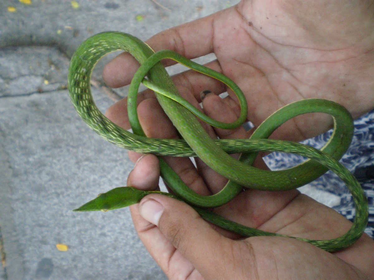 The Asian Vine Snake Is A Beautiful Snake But It Is Hard To Care For Especially For Someone New To Keeping Snakes