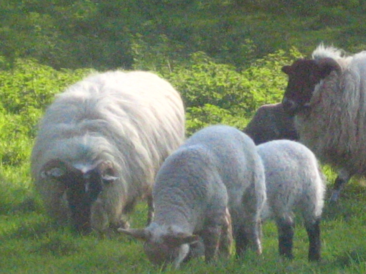 Irish Sheeps in Co. Cork, Ireland
