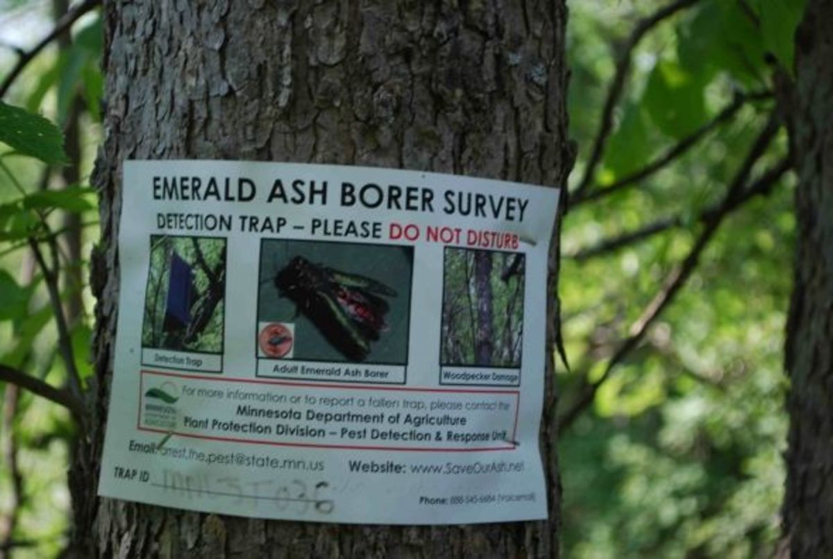 Emerald Ash Borer control effort, please do not disturb