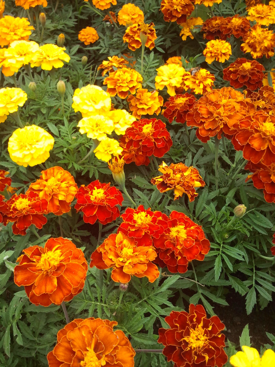 Tagetes - My Garden - Flower Picture Gallery