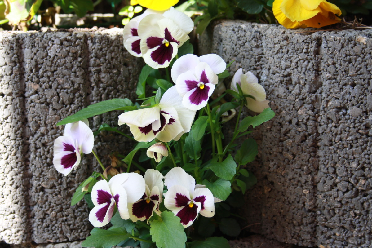 white violet step mom, Starting April - May until November flowers in My Garden