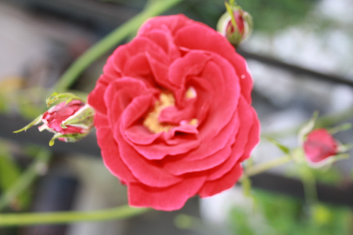 Red Climbing Rose, My Garden - My Favorite Flowers