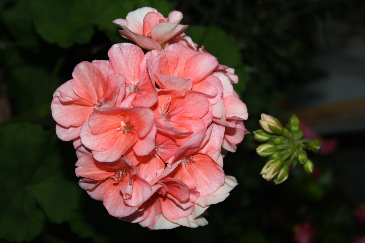 Geranium - My Garden - Flower Picture Gallery