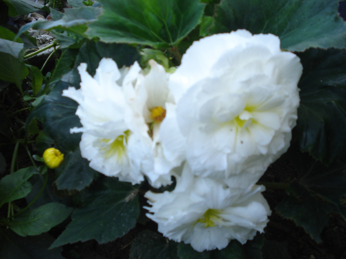 Beautiful White Begonia in My Garden