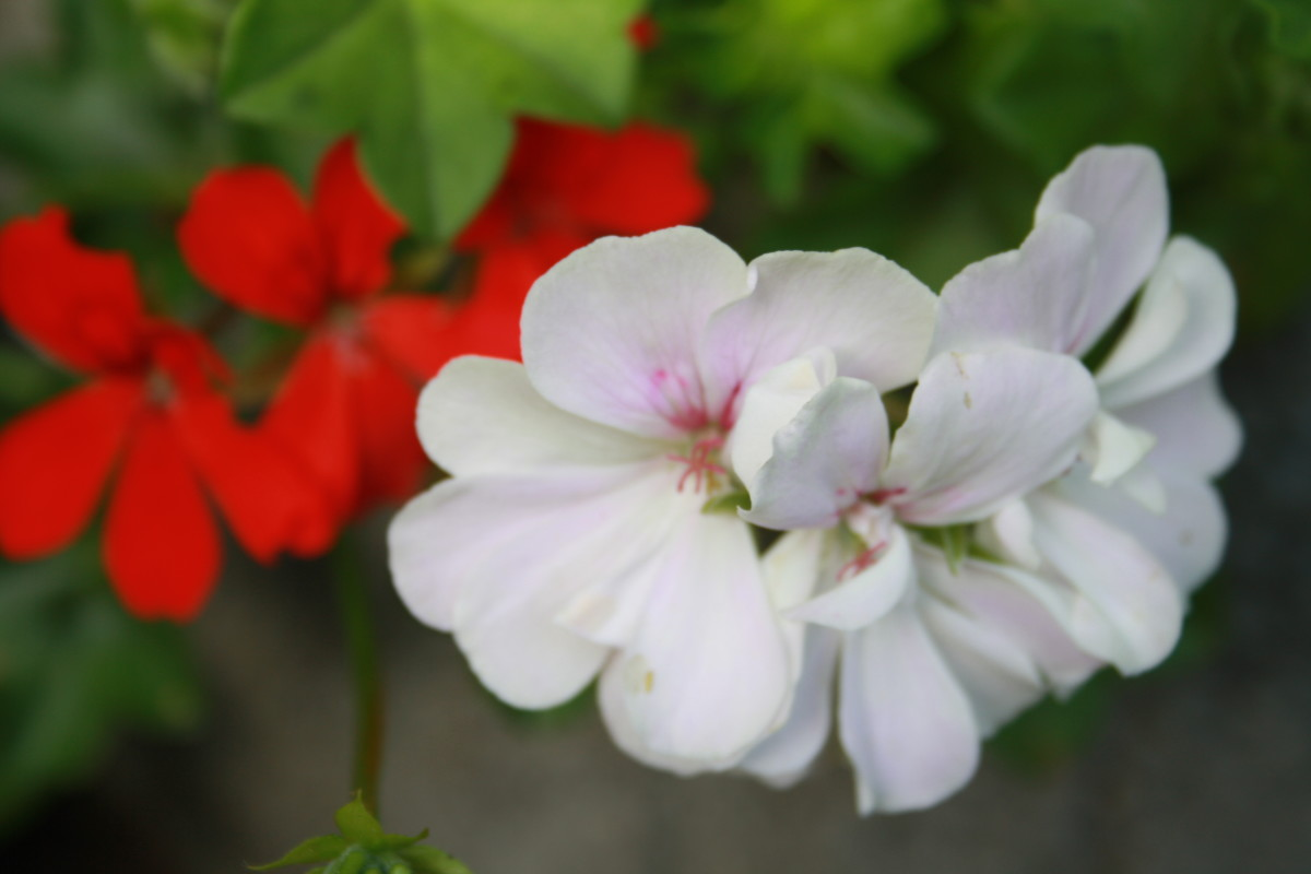 White Geranium, My Garden - My Favorite Flowers