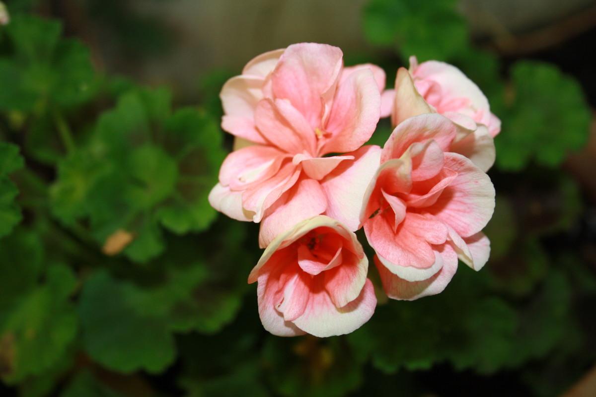 Pink Geranium, My Garden - My Favorite Flowers