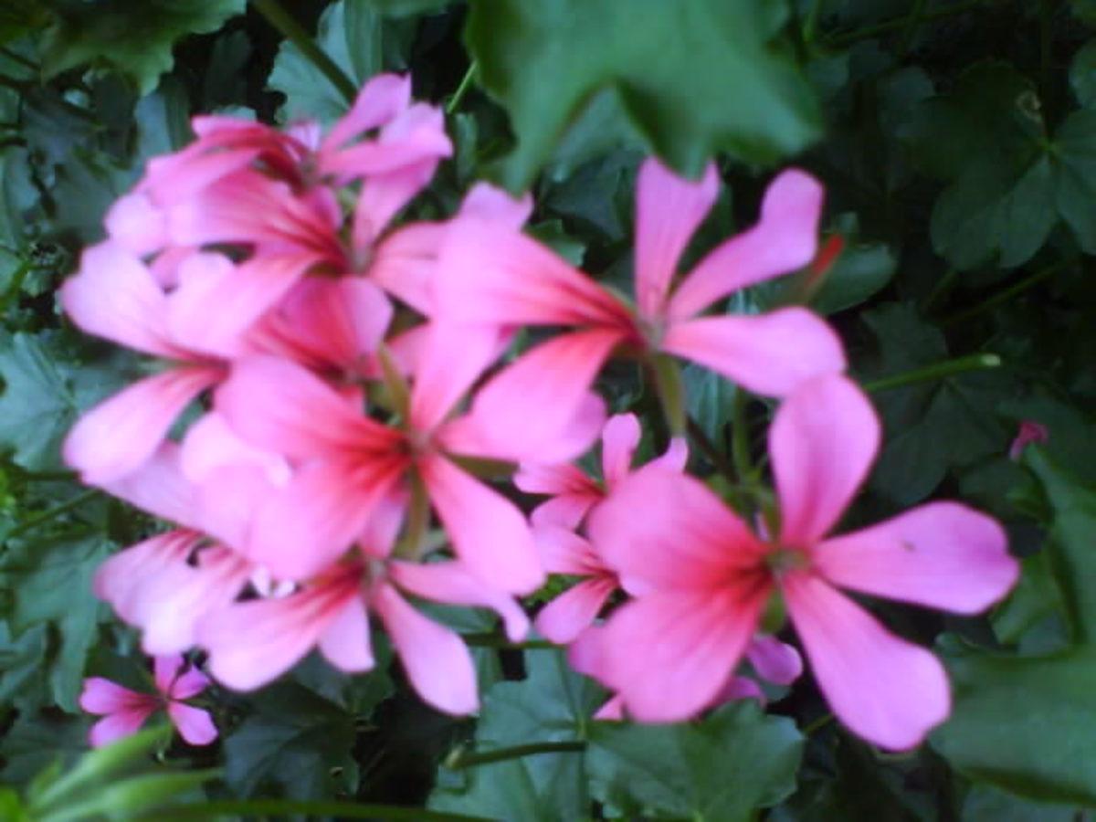 Pink Hanging Geranium in My Garden