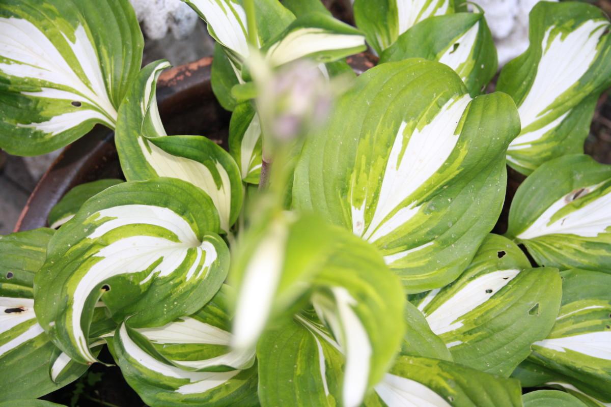 Hustas, My Garden - My Favorite Flowers