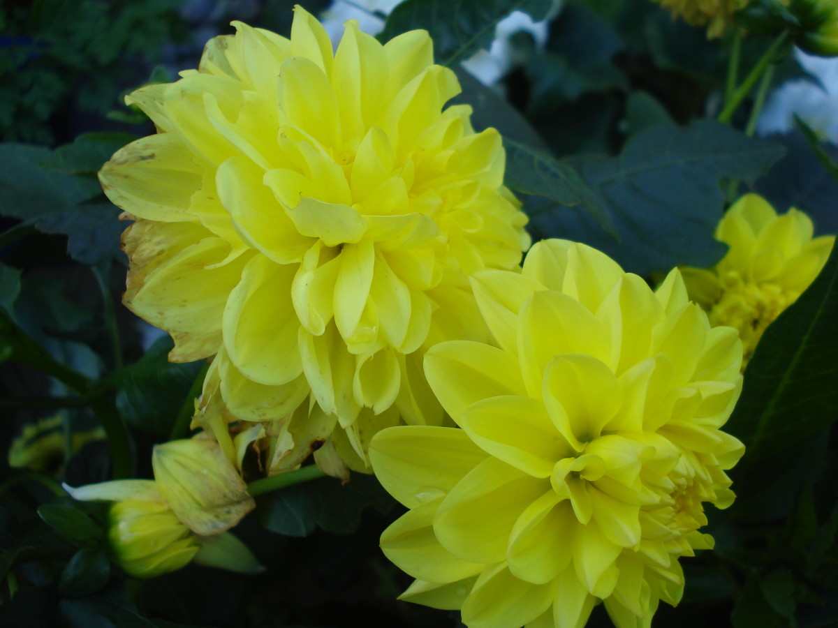 Dahlias in My Garden