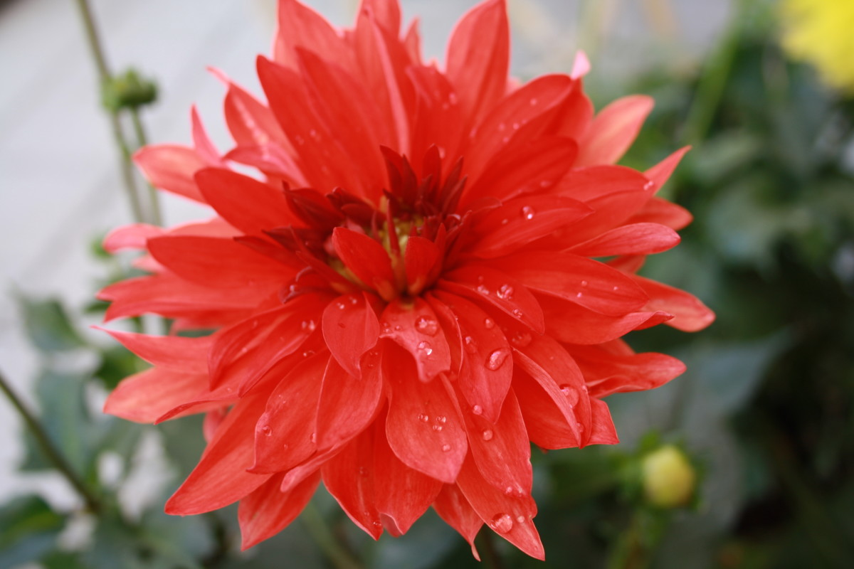 Red Dahlias in My Garden