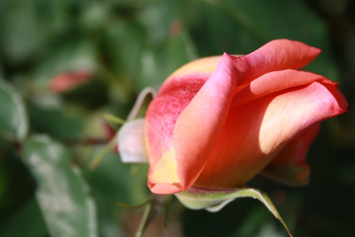 Pink Rosebud, My Garden - My Favorite Flowers