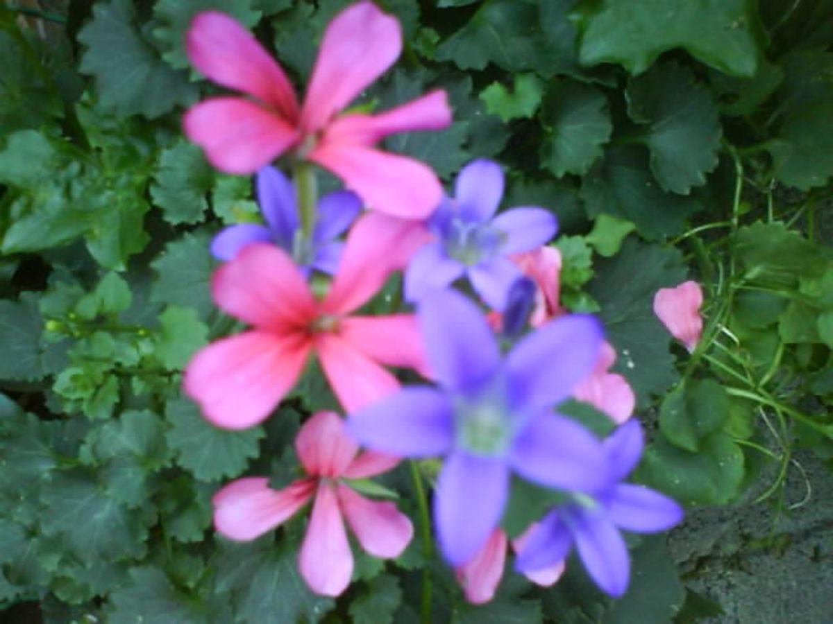Pink Hanging Geranium & Violet Campanula in My Garden
