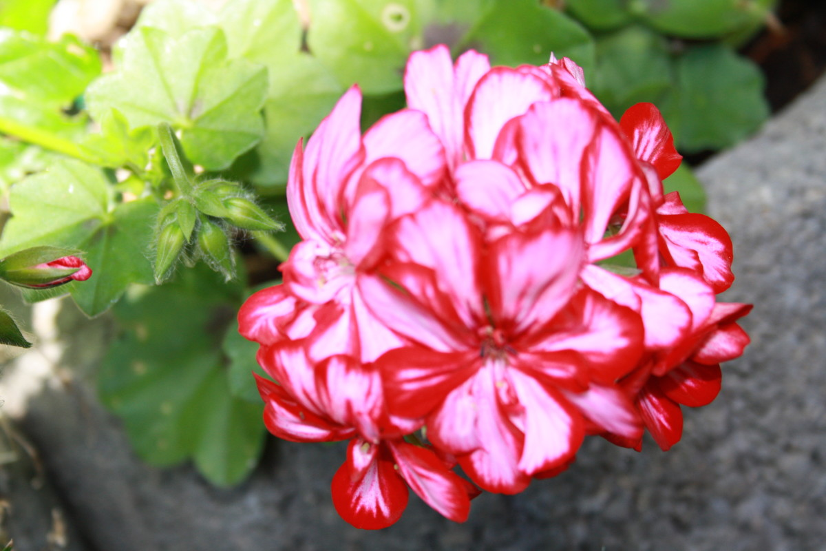 Red White Geranium,  My Garden - My Favorite Flowers