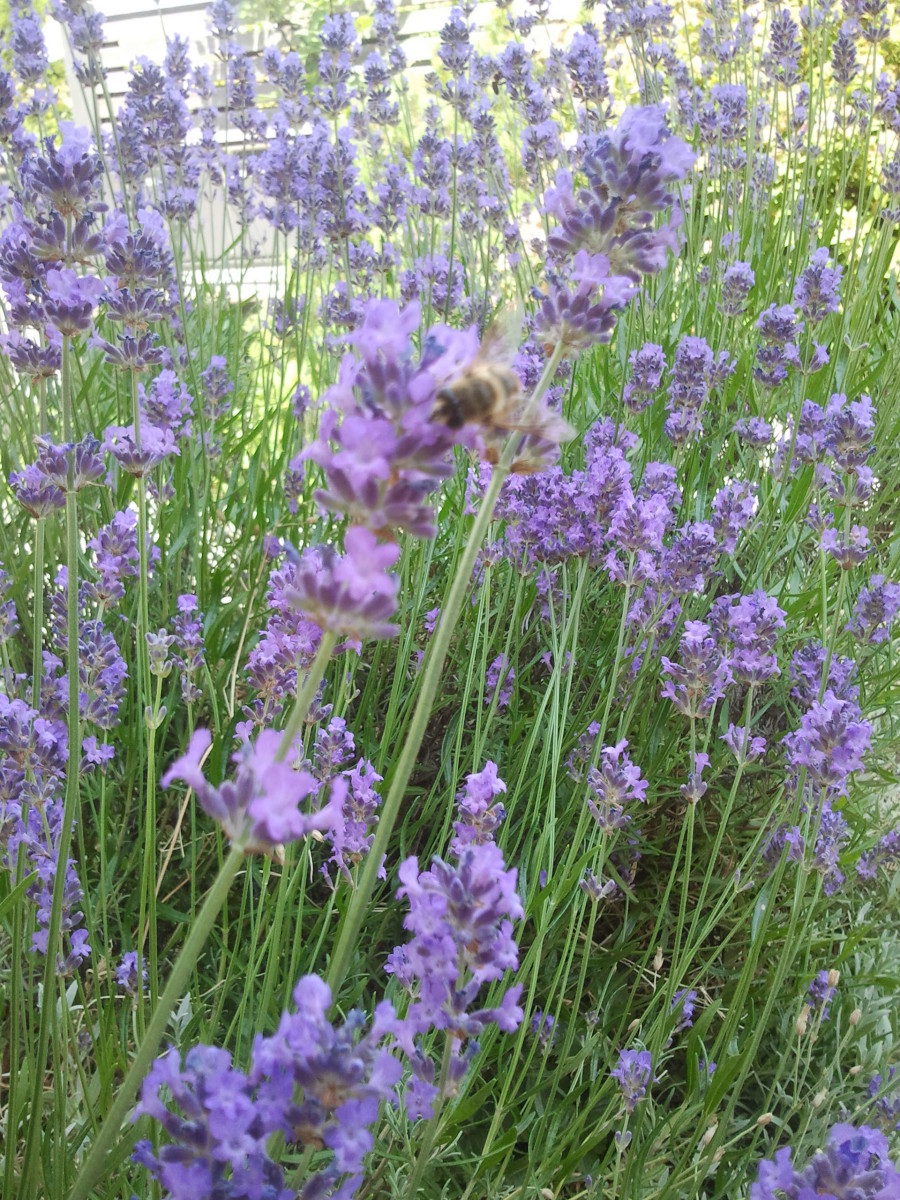 Lavendel - My Garden - Flower Picture Gallery