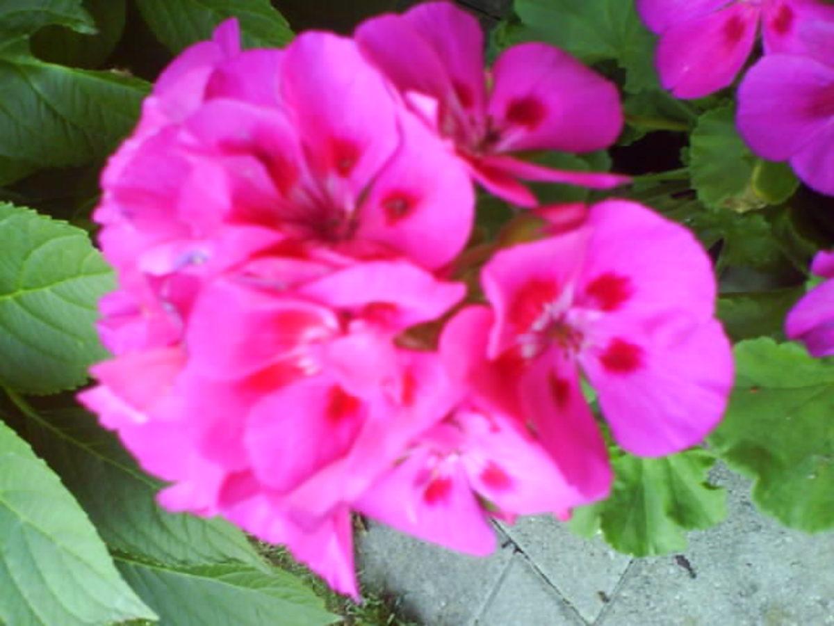 Pink Geranium in My Garden