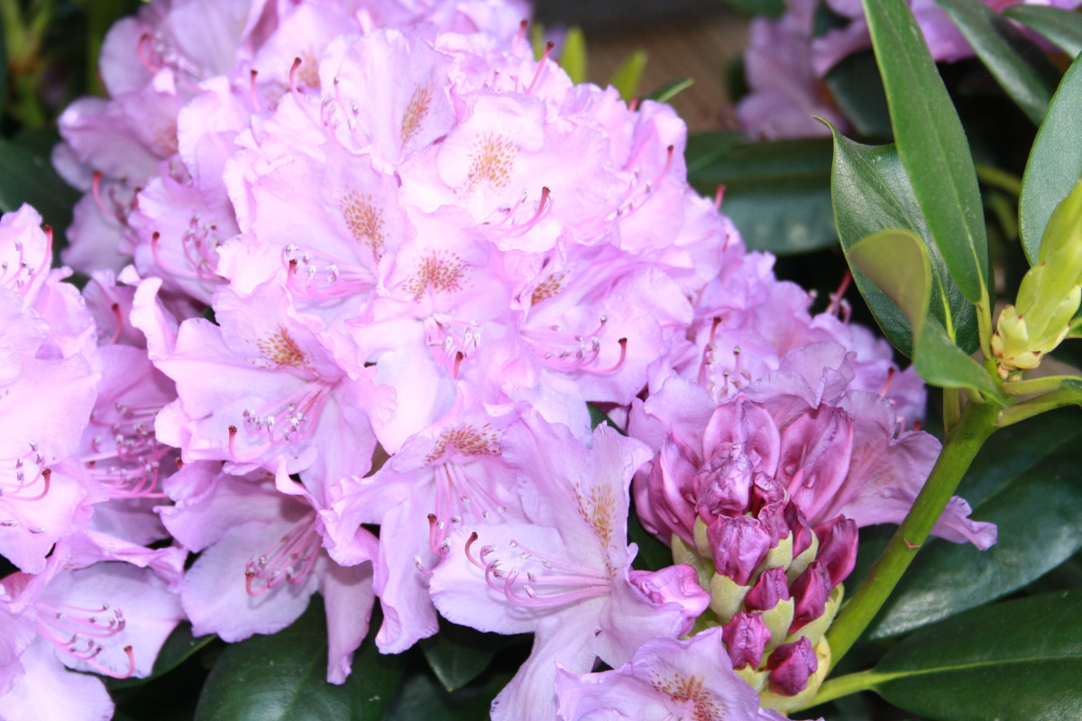 Rhodendrons, My Garden - My Favorite Flowers