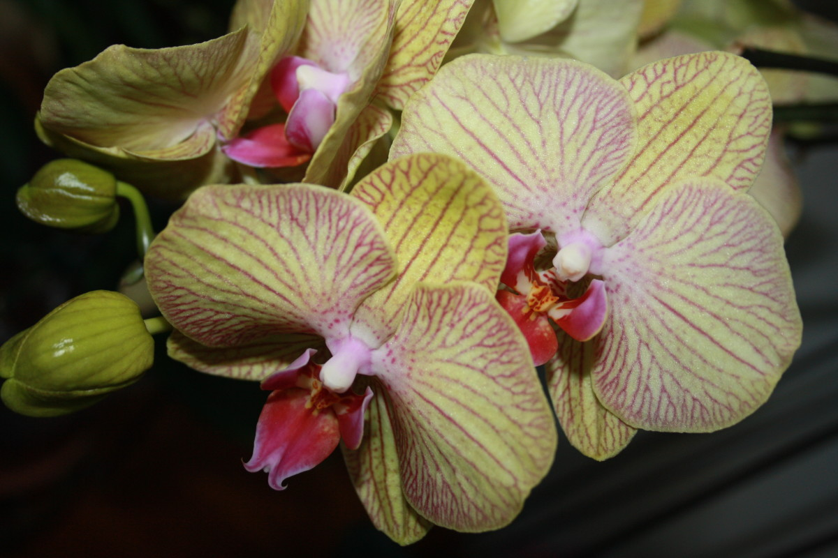 Orchids, My Garden - My Favorite Flowers