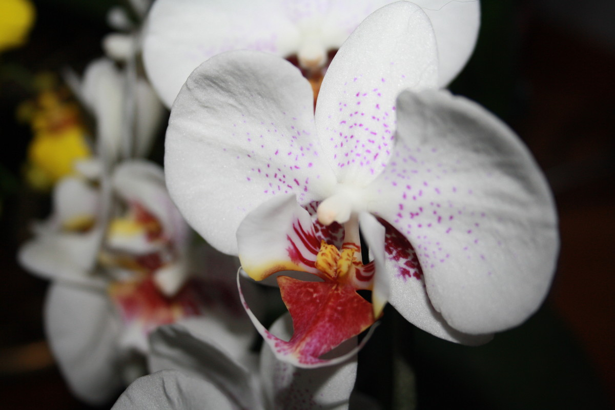 Orchids - My Garden - Flower Picture Gallery