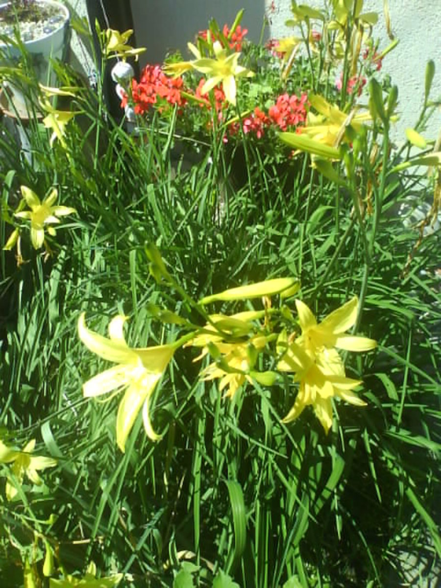 Yellow Lilien