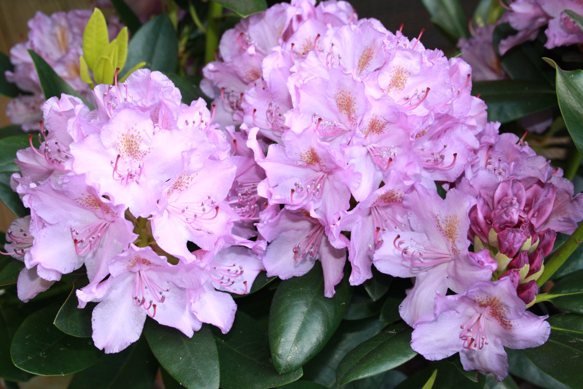 Rhododendrons, My Garden - My Favorite Flowers