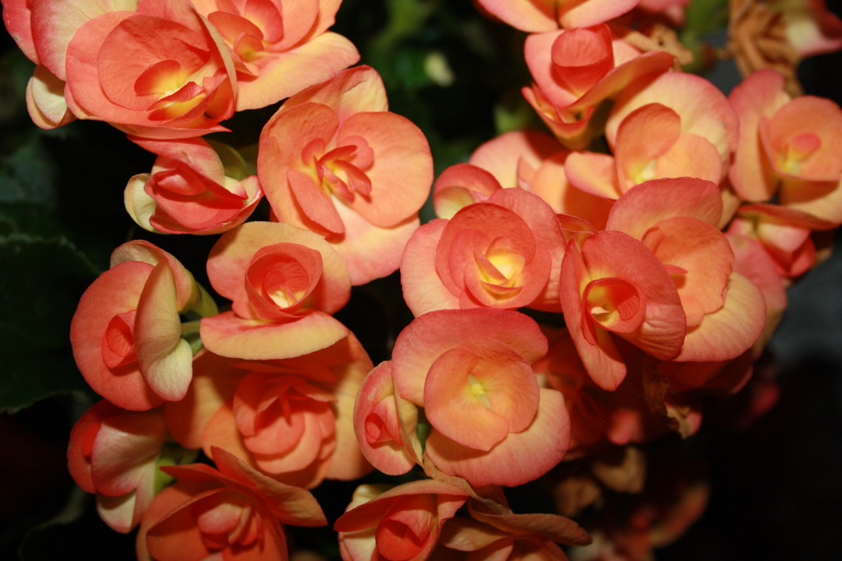 Begonia - My Garden - Flower Picture Gallery