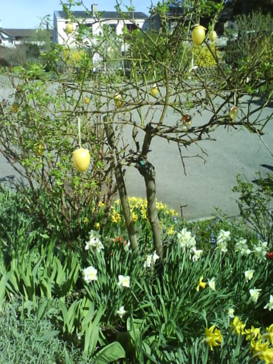 Daffodils and Easter Egg Decoration in My Garden
