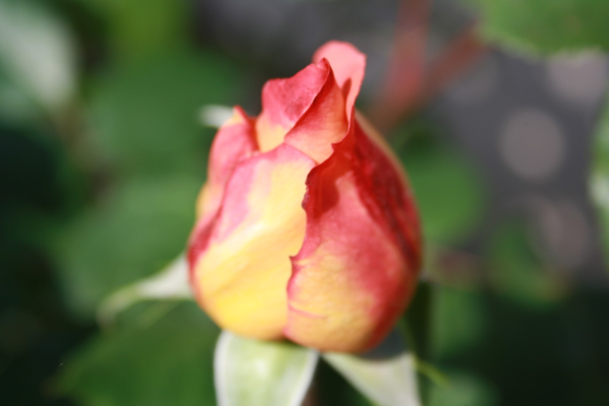 Pink Rosebud, starting to bleed, My Garden - My Favorite Flowers
