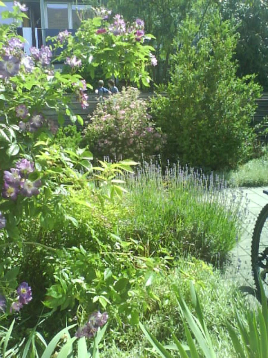 Lavendel, Violet Rose