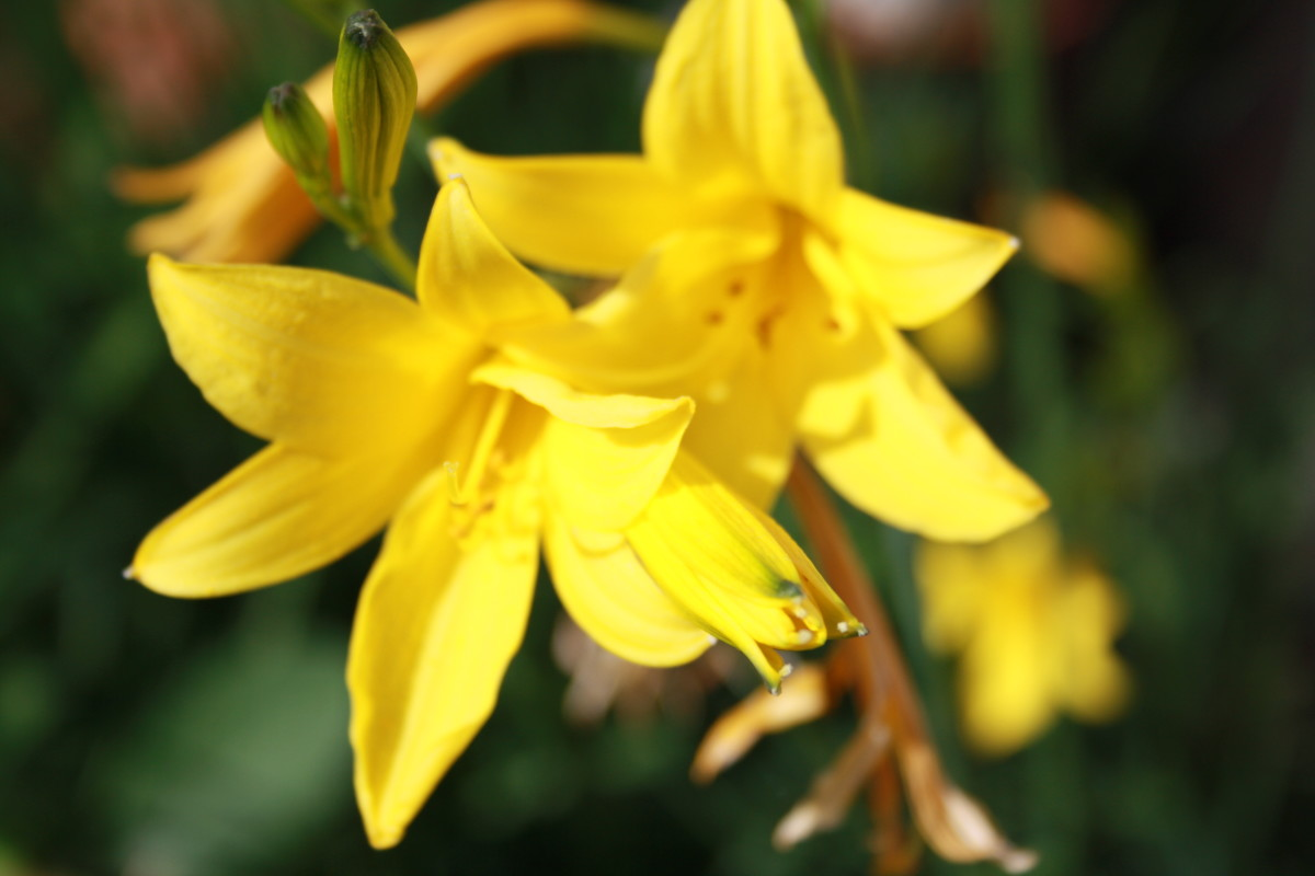 Yellow Lily, My Garden - My Favorite Flowers
