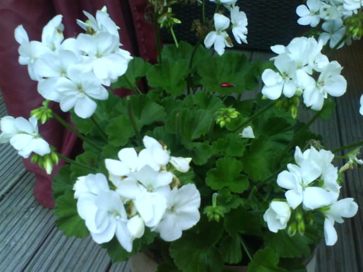 White Geranium in My Garden