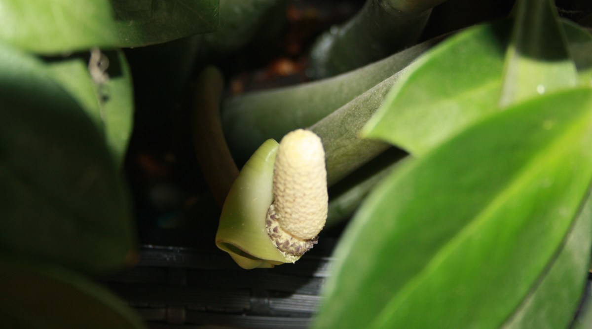 Zamienblättriger Zamiokulkas  Flower, My Garden,  Livingroom Plants