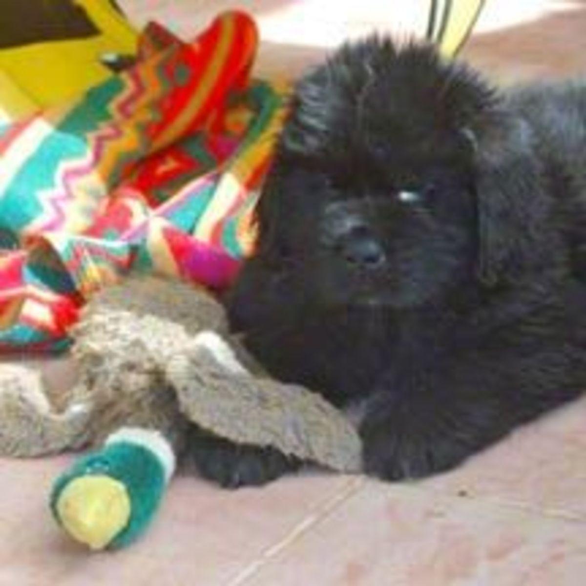7 Week Old Newfoundland Puppy