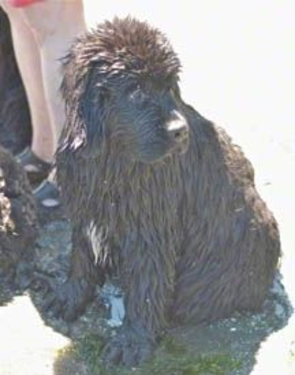 14 Week Old Newfoundland Puppy