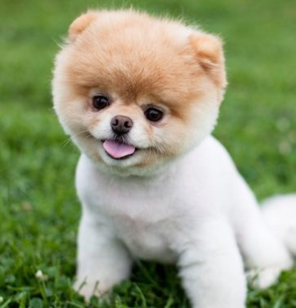 What Kind of Breed is Boo, the Cutest Dog in the World?