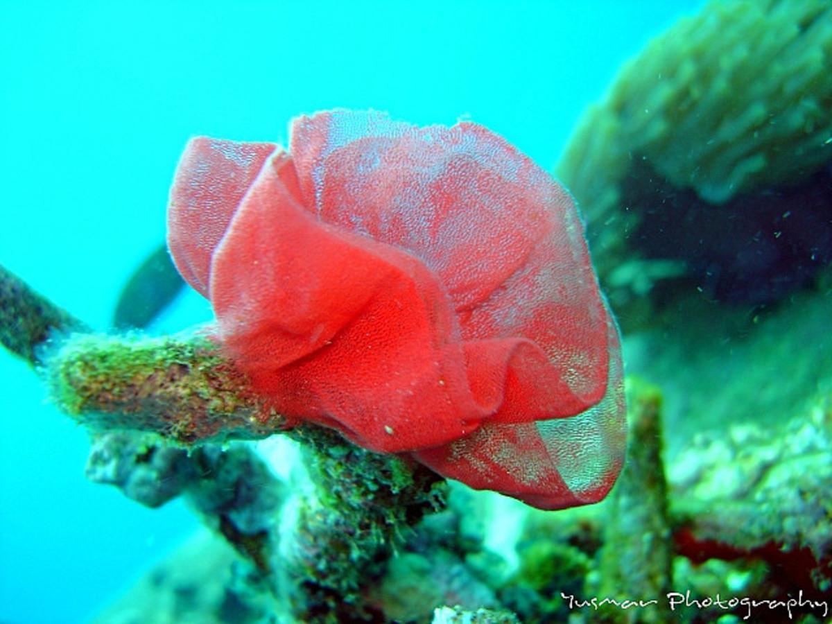 Nudibranch Egg Cluster (pink)