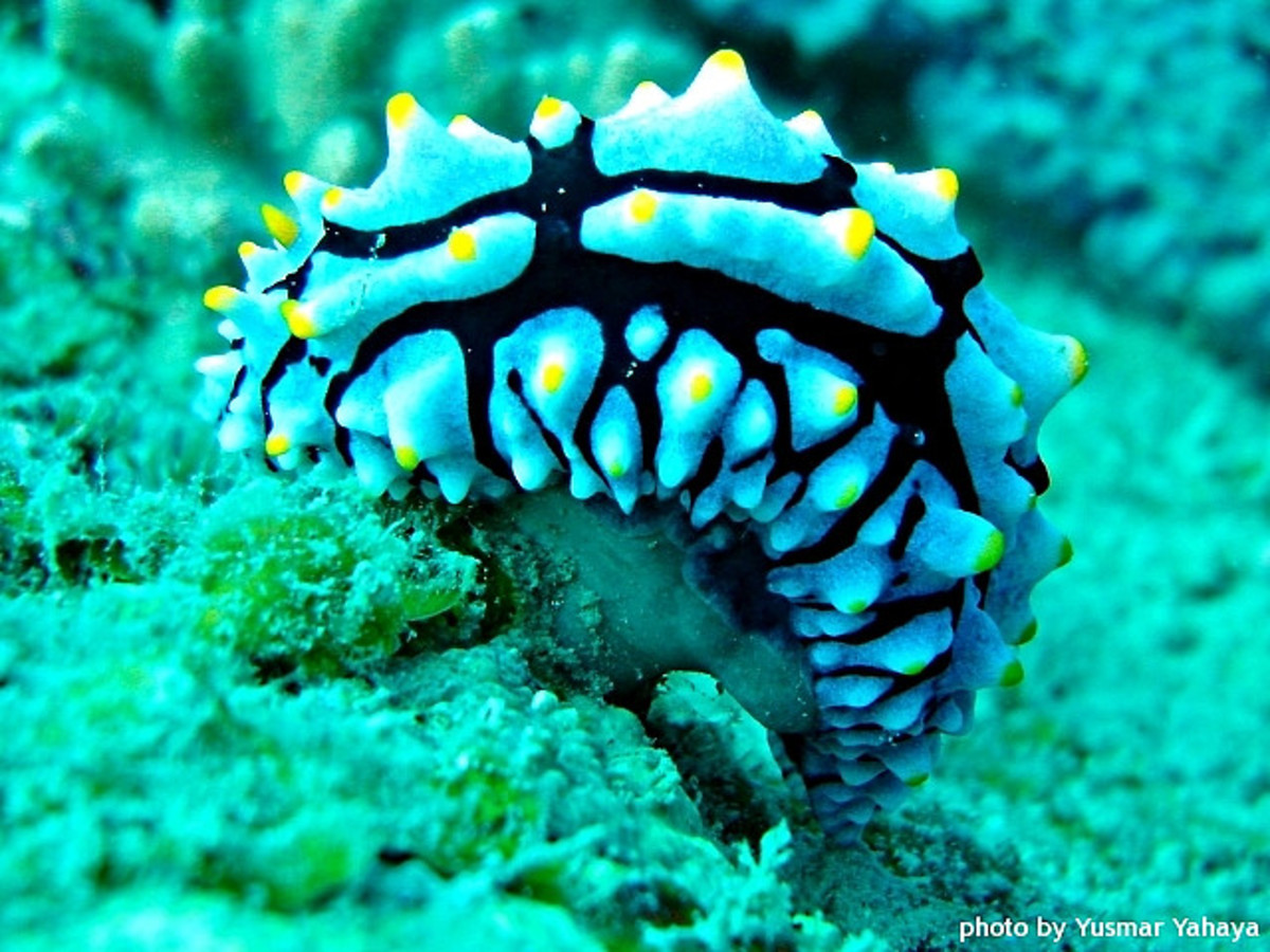 phyllidia sp. - Photograph taken in Malaysian waters.