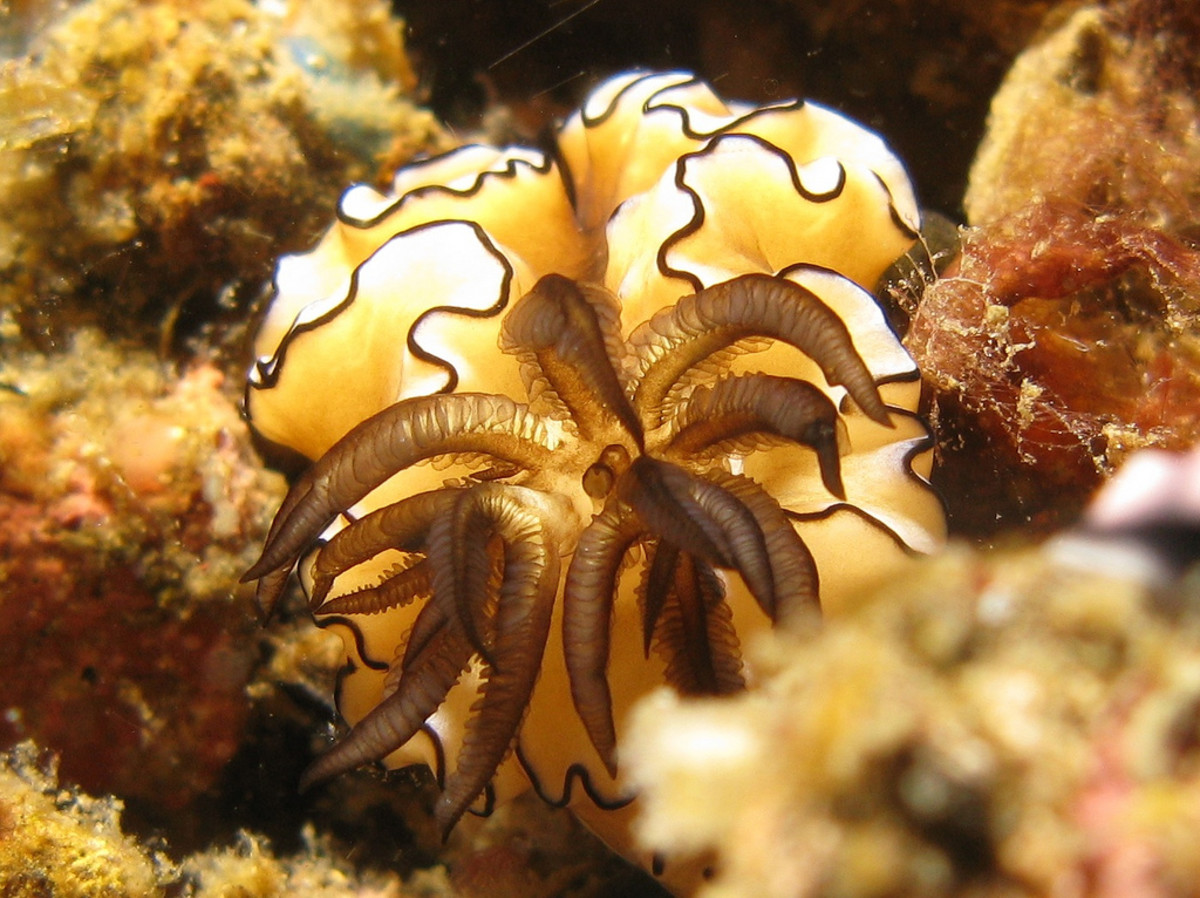 Glossodoris Atromarginata in Indonesia