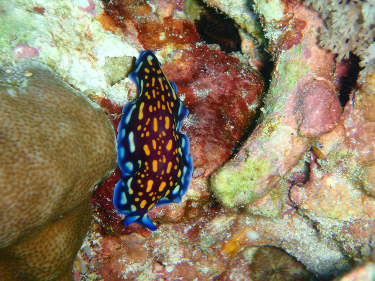 Unidentified Nudibranch 3