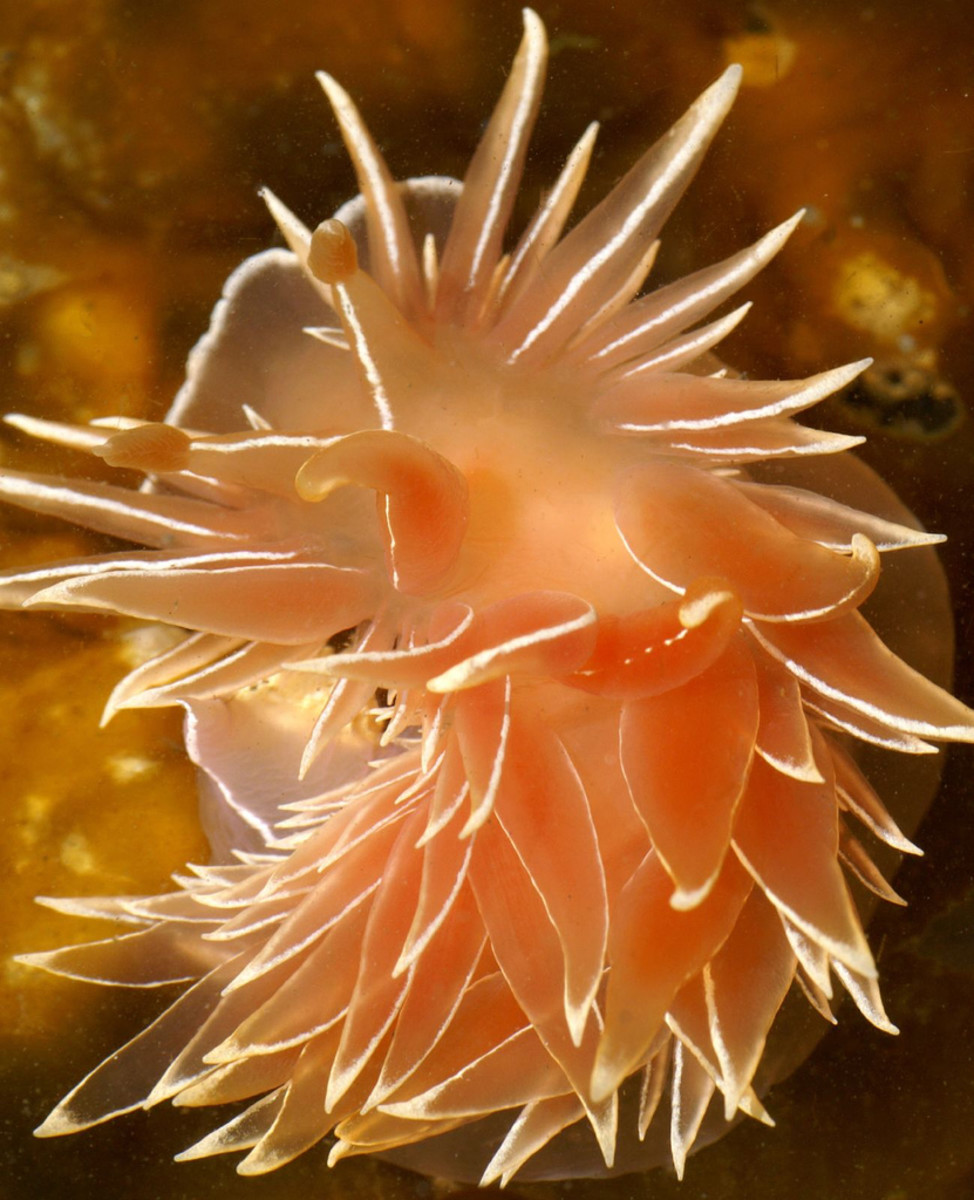 "Frosted Nudibranch can reach up to 7"" long."