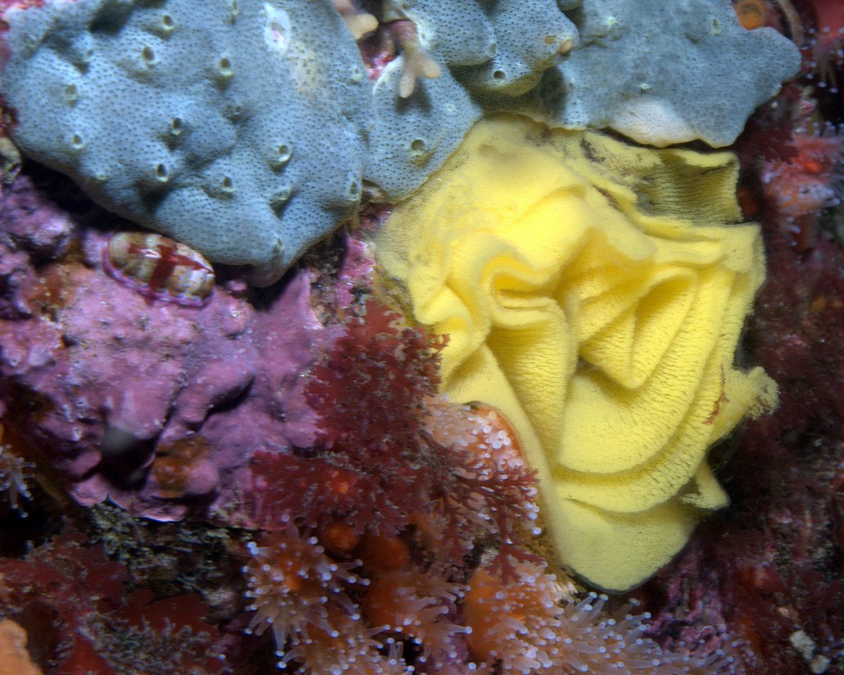 Nudibranch Eggs - The yellow ribbon like mass is nudbranch eggs laid in a long string.