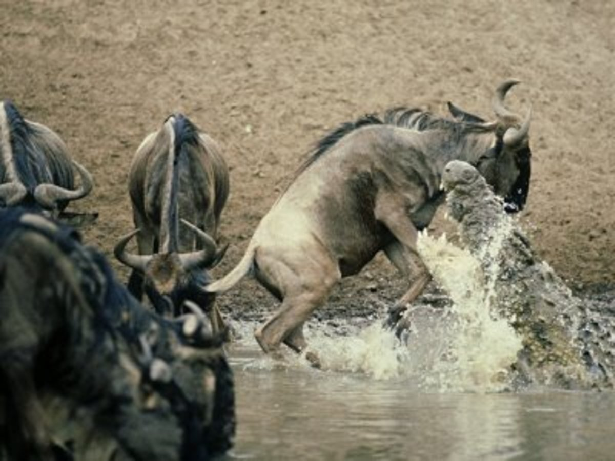 The Wildebeest Has No Chance Againsi This Nile Croc!
