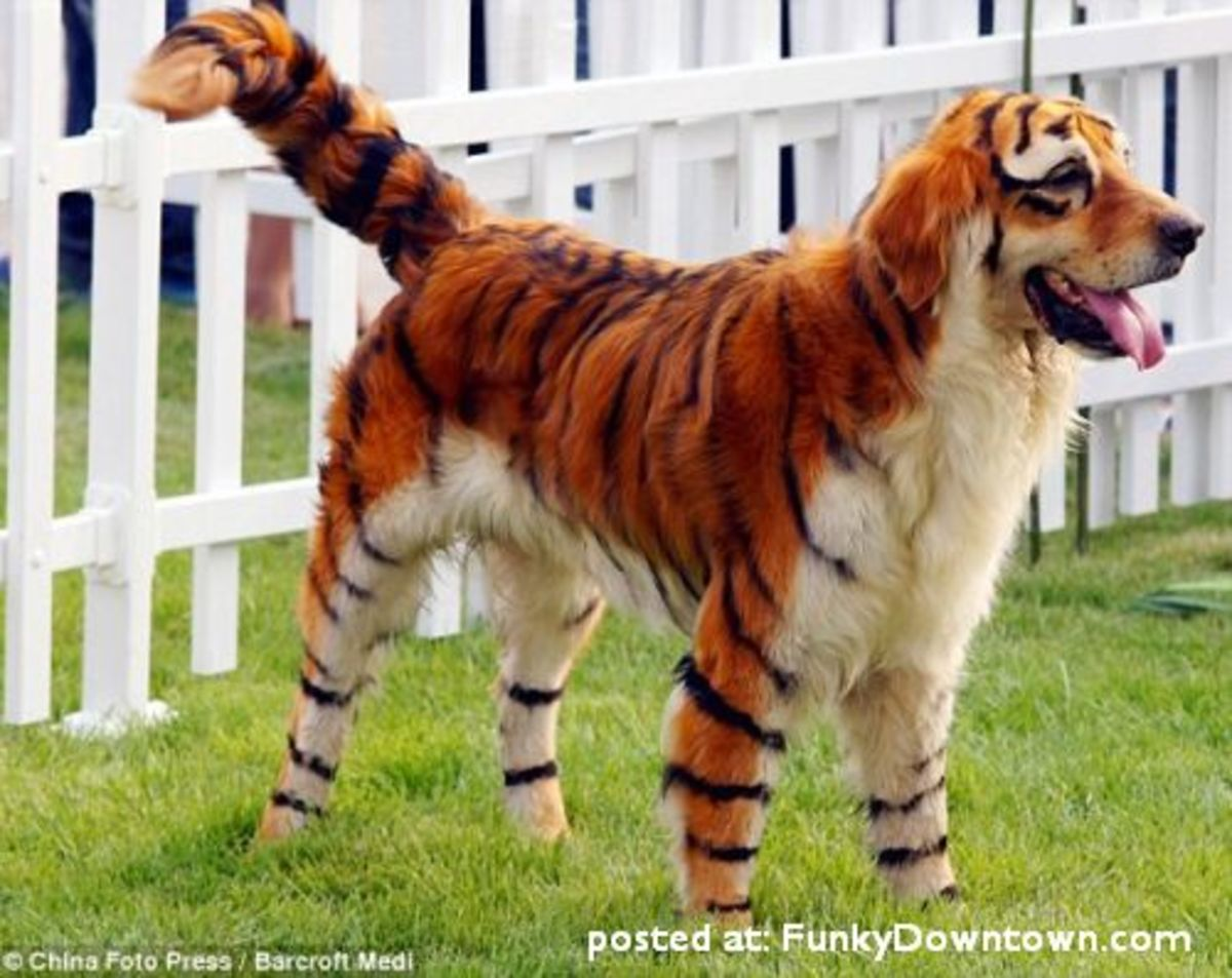 dog dyed and trimmed to look like a tiger