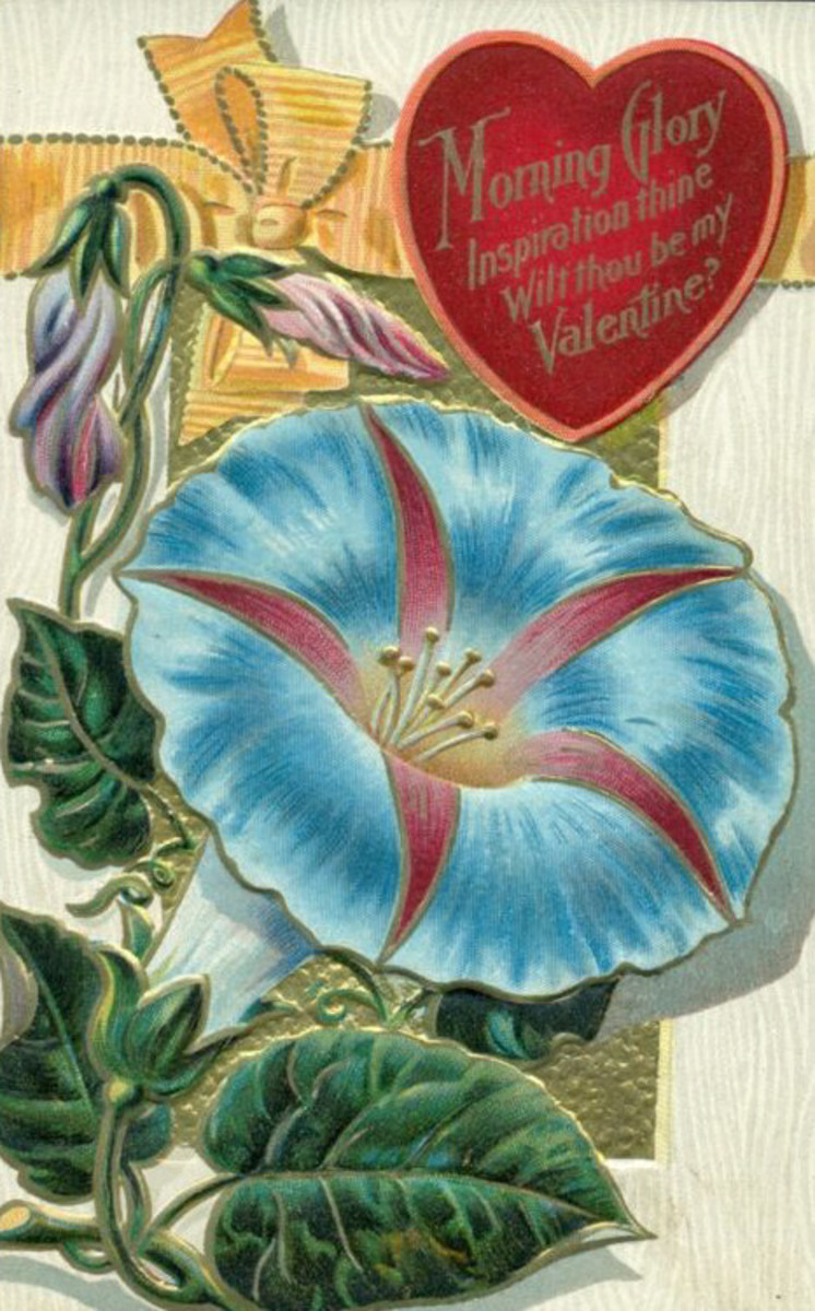 Morning Glory Valentine