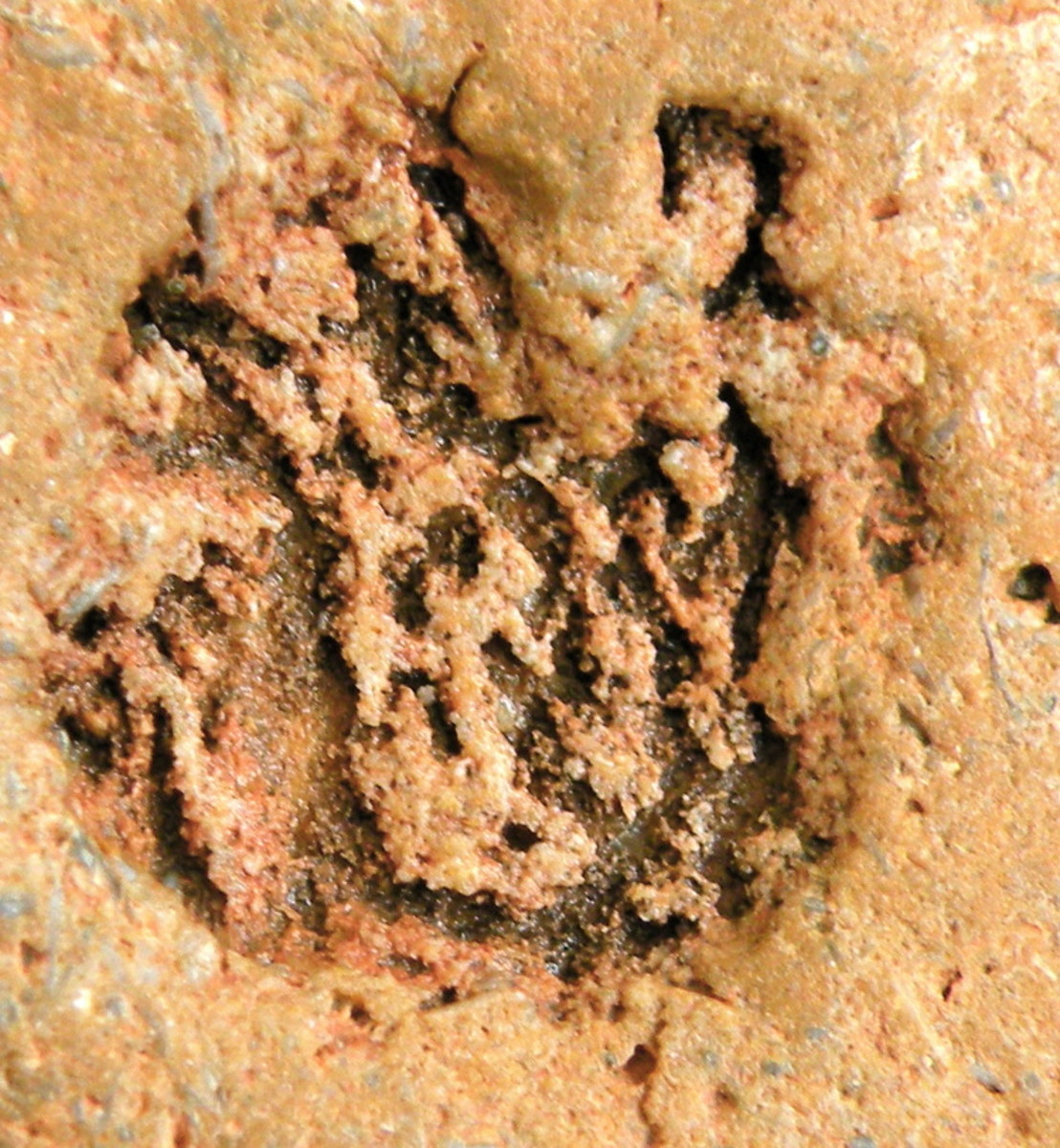 This is a closeup of the impression on the back of the face fossil rock. Found Feb. 2011 by S. Henkel at Imperial Dam Recreation Area on the California/Arizona border.