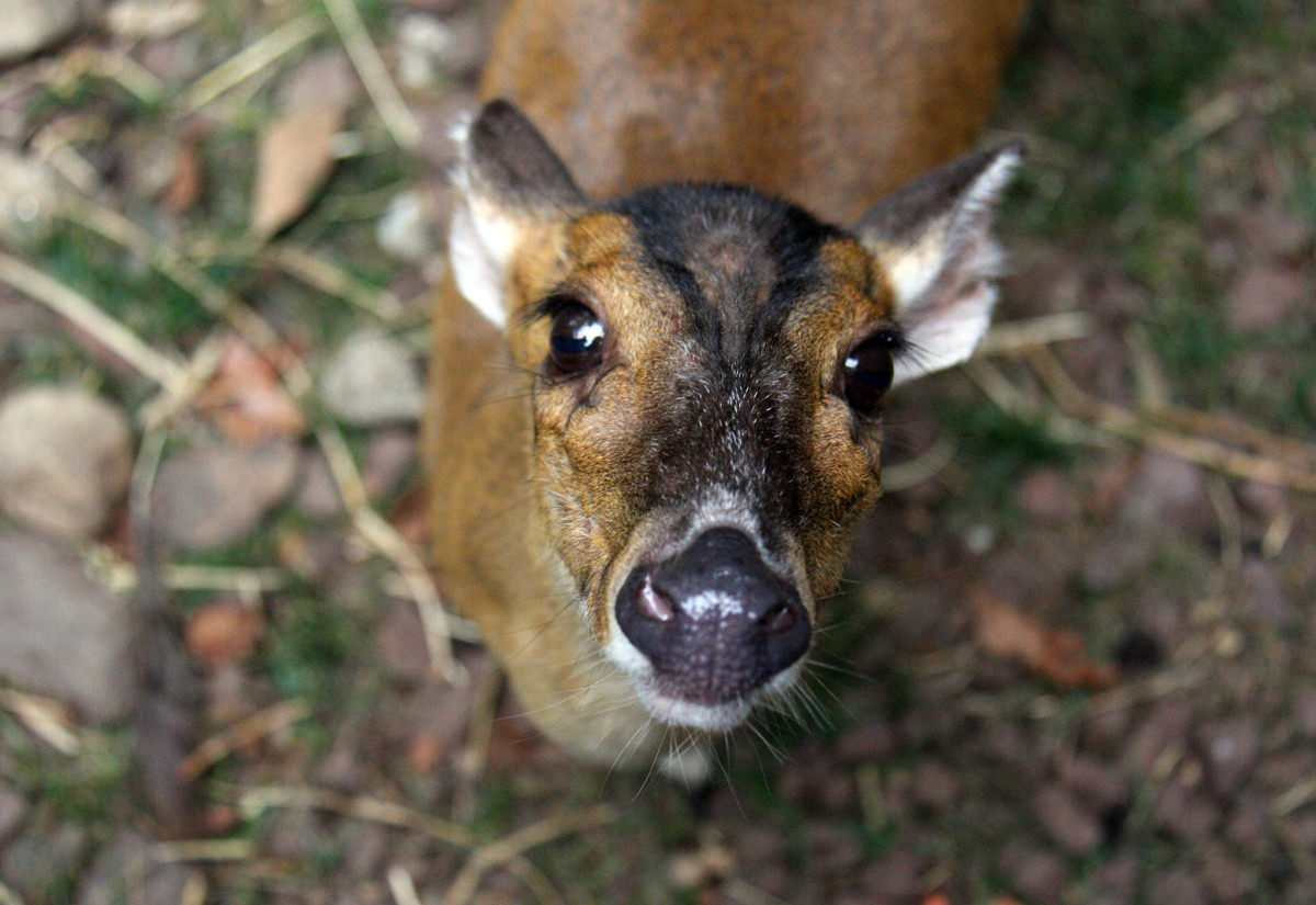 My Weird Pet: A Muntjac, [Almost] the World's Smallest Deer (So Cute)