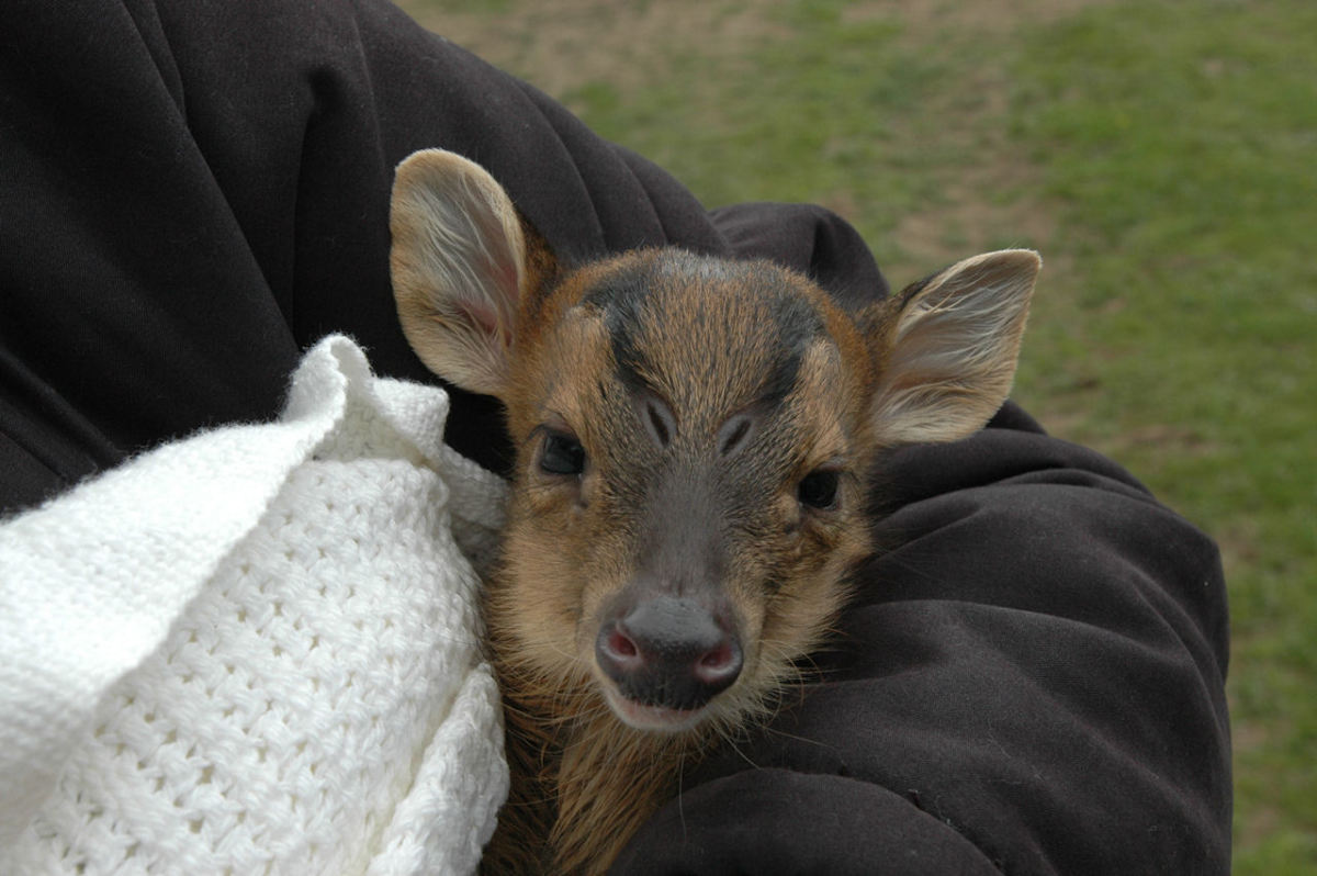 So cute! A baby muntjac.
