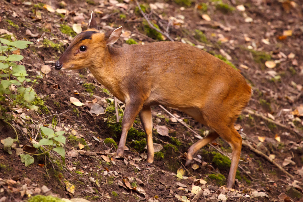 Adult muntjac. They are a bit funny looking.